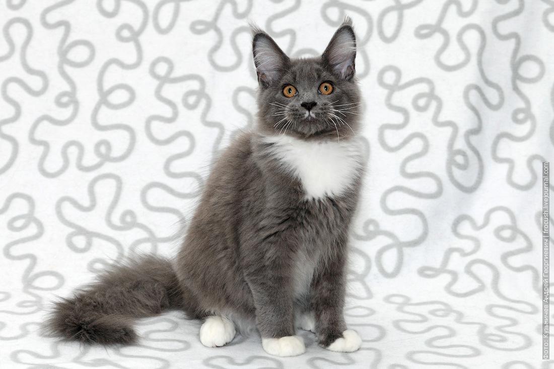 продам в москве котенка мейн кун