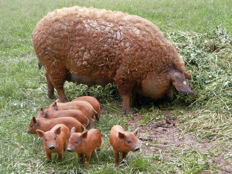 Мангалица. Свинья-овца