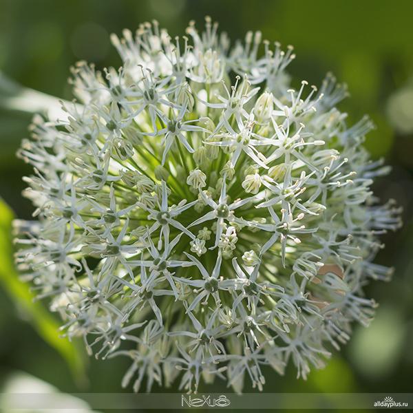 Я люблю все цветы, выпуск #107 | Аллиум - красивоцветущий лук.