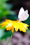 Бабочка-капустница.jpg