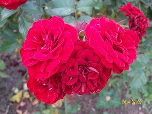 Роза (из цветника Амелькиной Л.А.)
