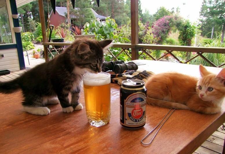 кот пробует пиво
