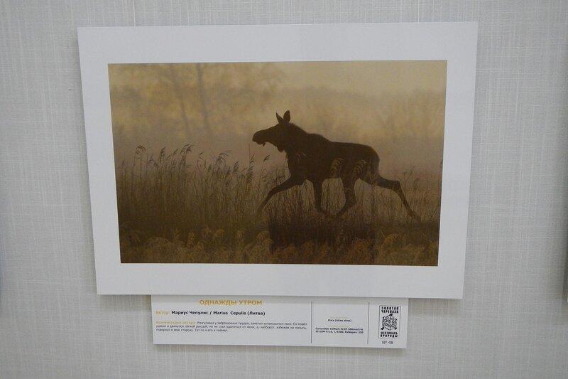 Однажды утром. Мариус Чепулис (Литва). Лось в утреннем тумане. На фестивале дикой природы Золотая Черепаха