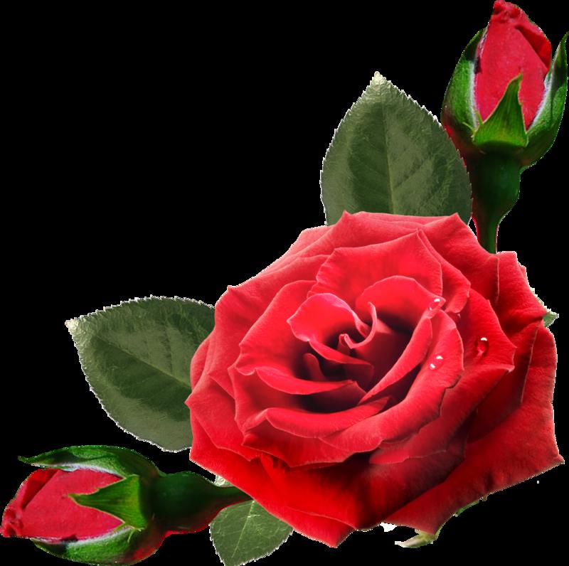 Розы открытка пнг, открытки