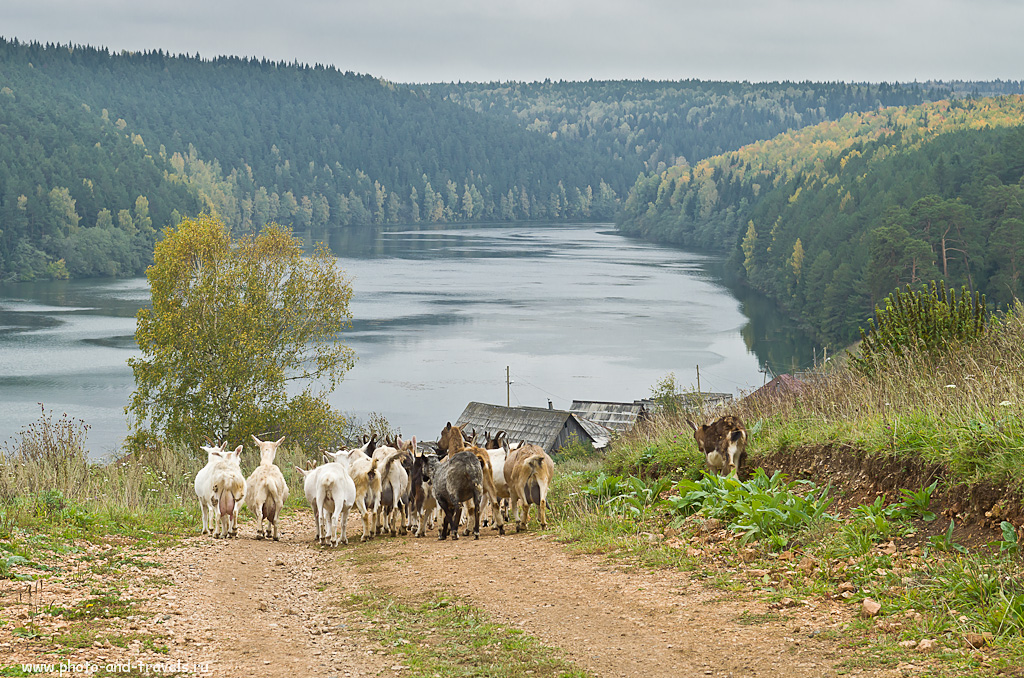 8. Фотоохота на мелкий рогатый скот. Прогулка по селу Нижнеиргинское в Красновуфимском районе Свердловской области.