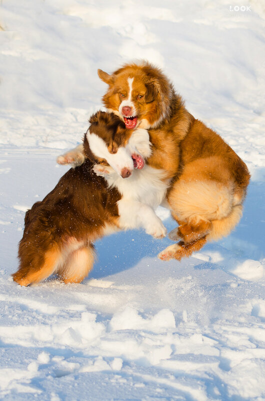 Мои собаки: Зена и Шива и их друзья весты - Страница 9 0_a852b_2619d4f4_XL