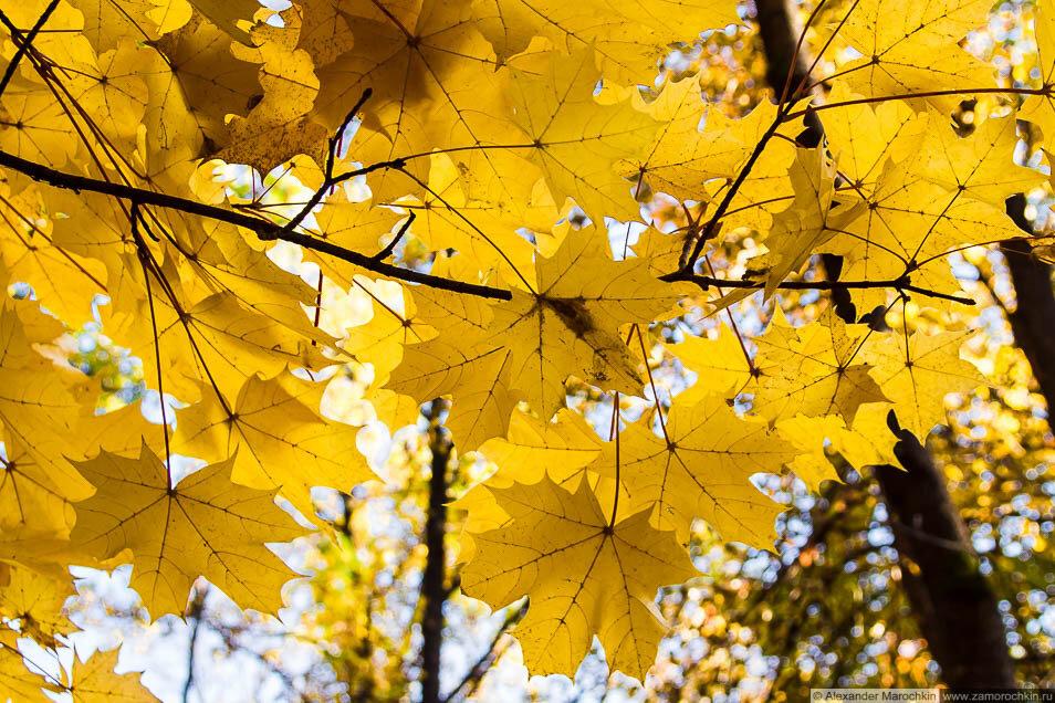 Осень жёлтые кленовые листья