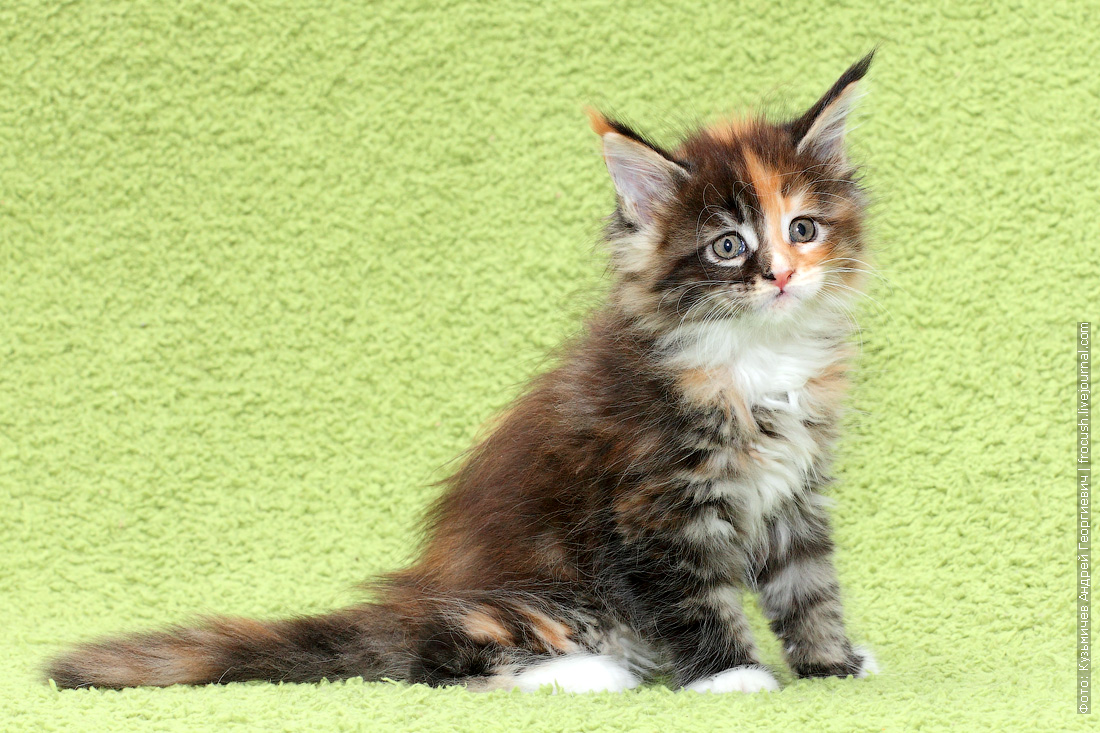 мейн-кун котята картинки