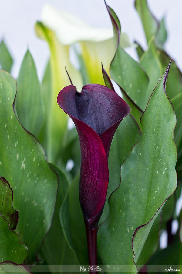 Я люблю все цветы, выпуск 120 | Калла - женский оберег.