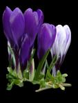 весенние цветы (26).png