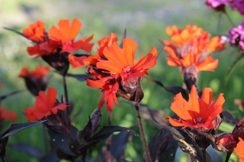 Фотоальбом «Лучшее из сада»-Лихнис Везувий