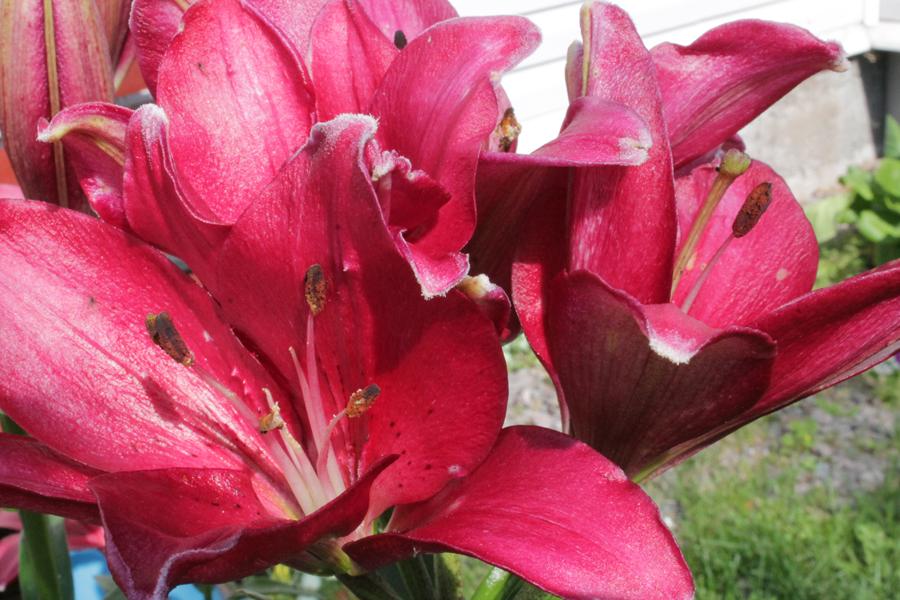 Фотоальбом «Лучшее из сада»-лилии