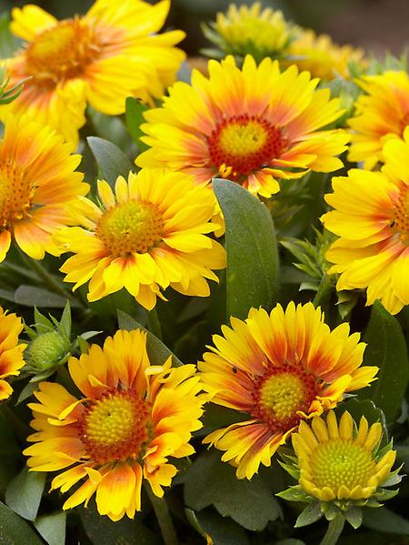 Многолетние цветы, переносящие жару-Гайлардия