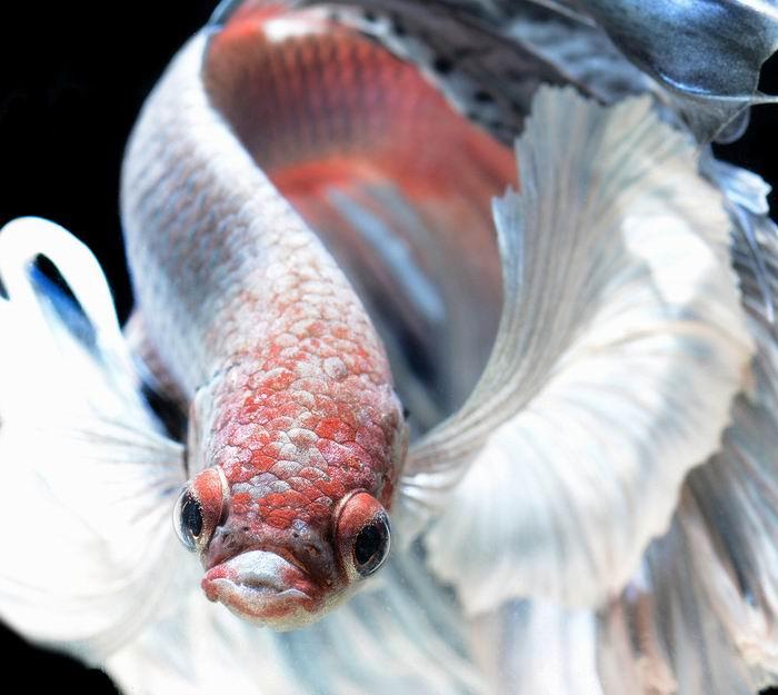 Боевые танцы. Сиамские бойцовые рыбки в фотографиях ©Visarute Angkatavanich. 35 фото