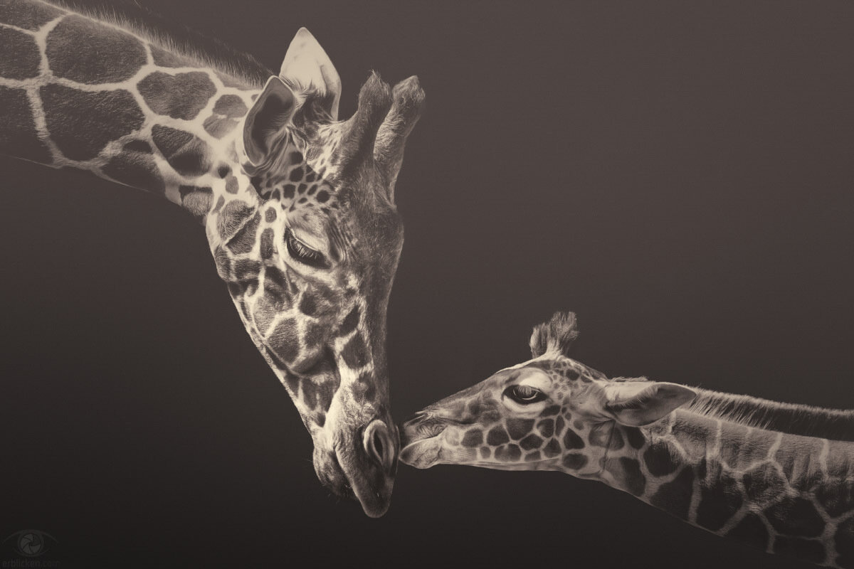 Evolution is so creative. That's how we got giraffes (Kurt Vonnegut)!Facts: Giraffes are some of Africa's most iconic, magnificent, popular and engaging species and yet, surprisingly, we don't know enough about them. In recent times giraffes have