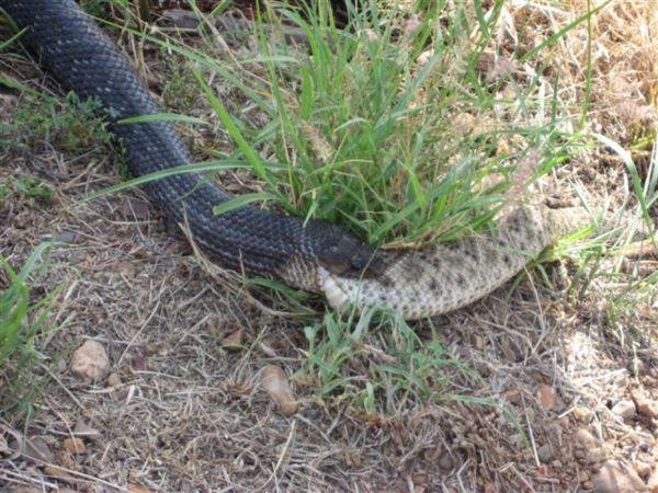 Убийца змей