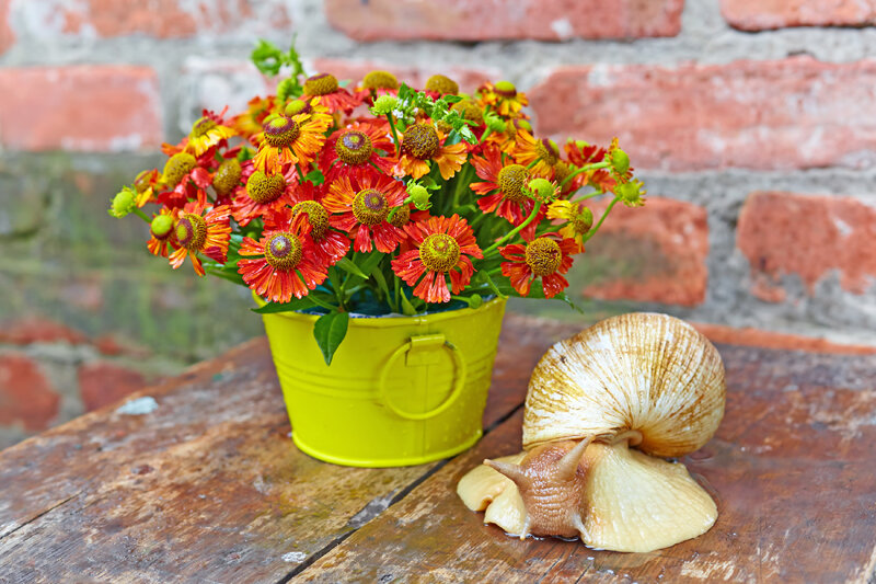 Bouquet of red flowers (Helenium) and giant snail (Achatina Retitsulata) on the old background