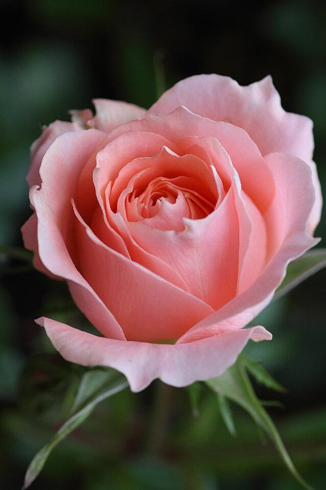 Картинки роза с надписью спасибо, солдат прикольные
