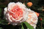Роза чайно-гибридная Роберто Капуччи (Roberto Capucci) Barni 2000 Питомник Barni Посадка март 2014