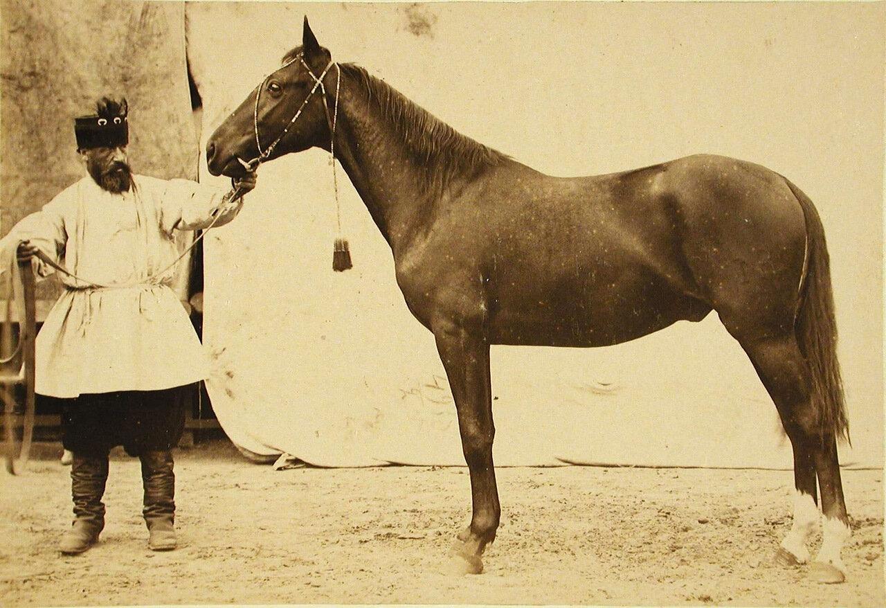 32. Жеребец конного завода Бузни, экспонирующийся на выставке