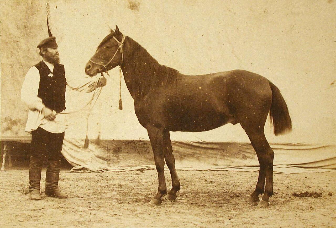 37. Жеребец конного завода Феодосьева, экспонирующийся на выставке
