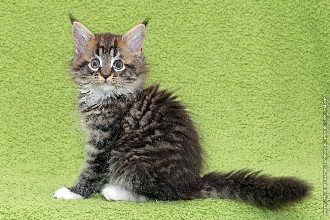 фотографии котята мейн кун