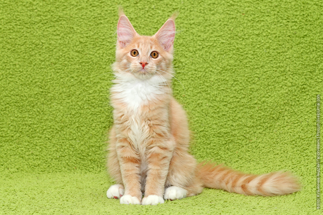 купить в Москве котенок Мейн-кун