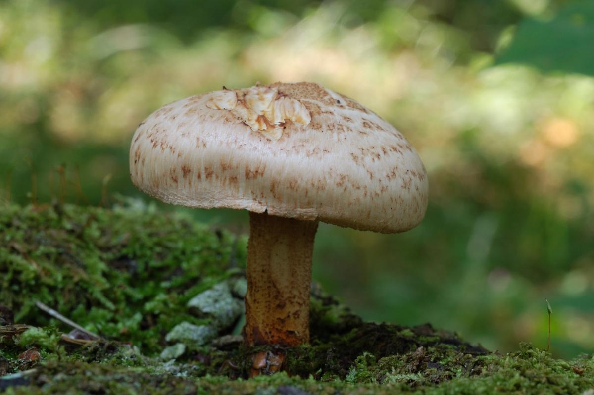 Съедобные грибы перепончатые фото