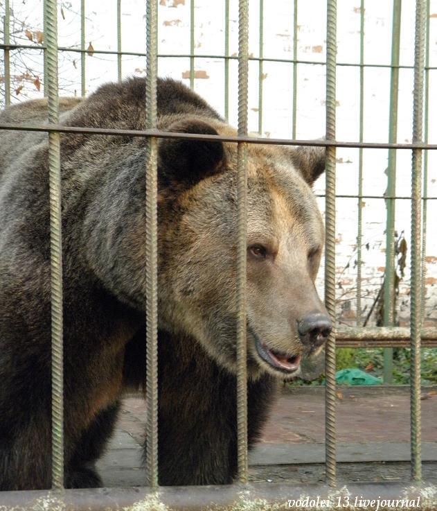 Медведица Маша - живой символ Ярославля.JPG