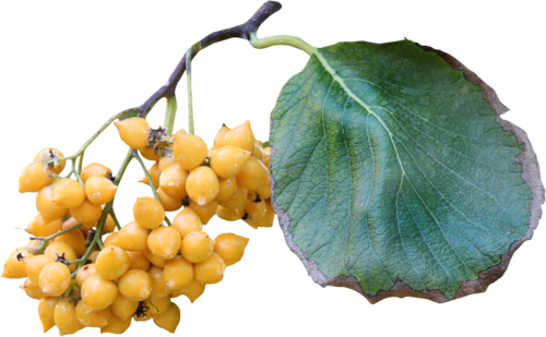 priss_flutteringleaves_autumnfruits2.png