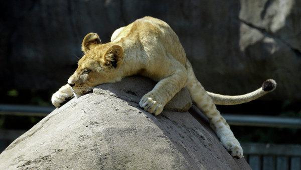 Львенок в зоопарке Орегона. Архивное