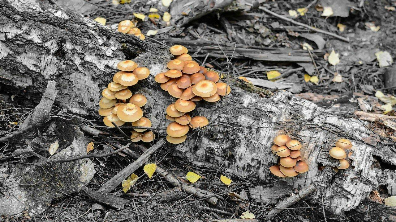 Опенок летний (Kuehneromyces mutabilis). Автор фото: Вячеслав Степанов
