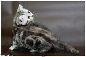 черный черепаховый серебристый мраморный британская короткошерстная кошка
