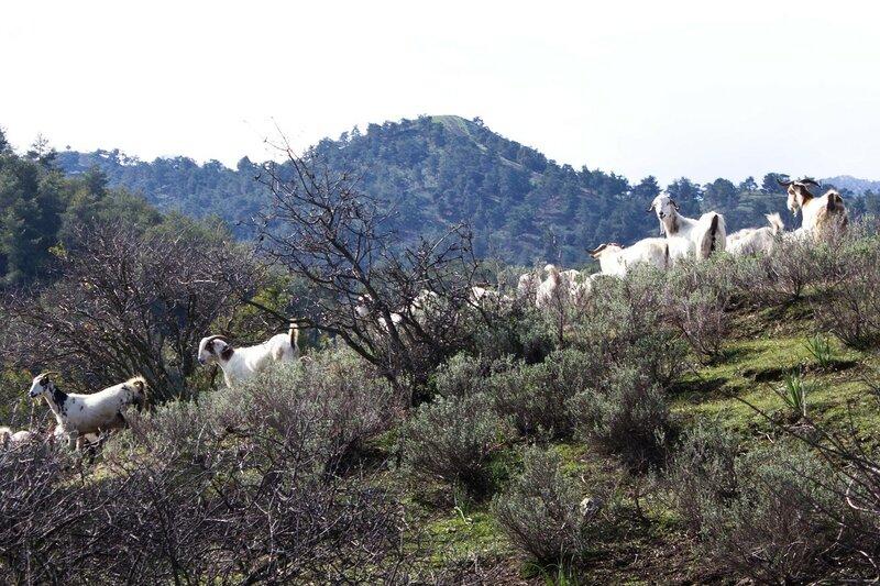 козы нга Кипре