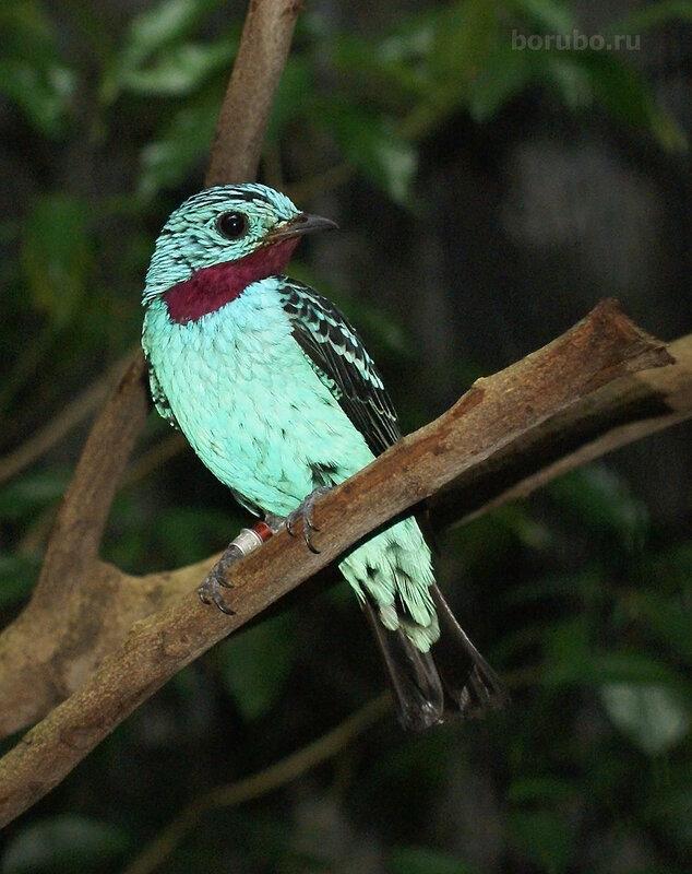Котинга блестящая настоящая (Cotinga cayana)