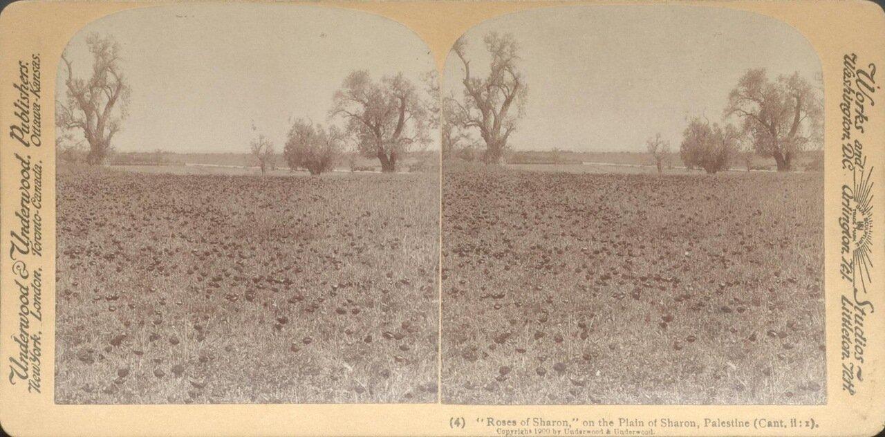 Шаронская долина. Розы Шарона. 1900