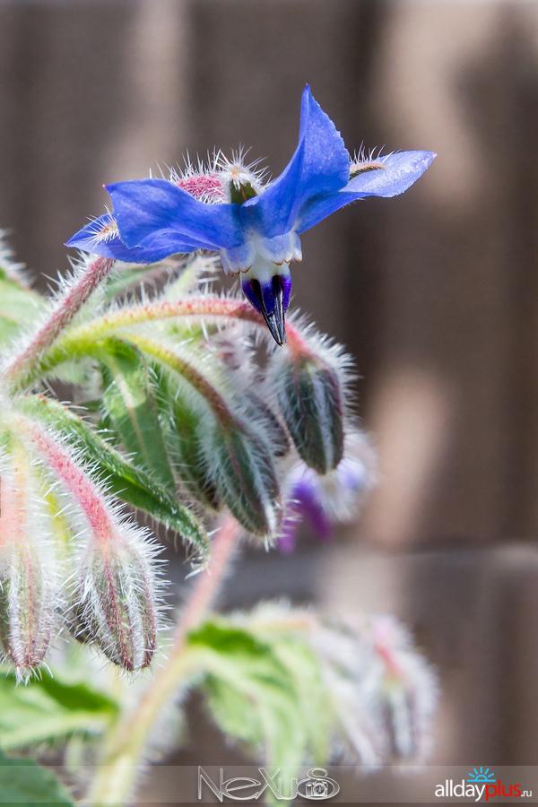 Я люблю все цветы, выпуск 201 |  Огуре́чная трава, или Огуре́чник, или Бура́чник (лат. Borágo).