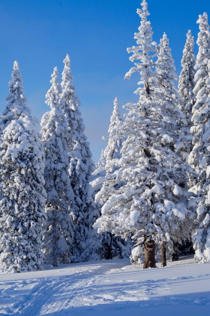 Красивые зимние ели