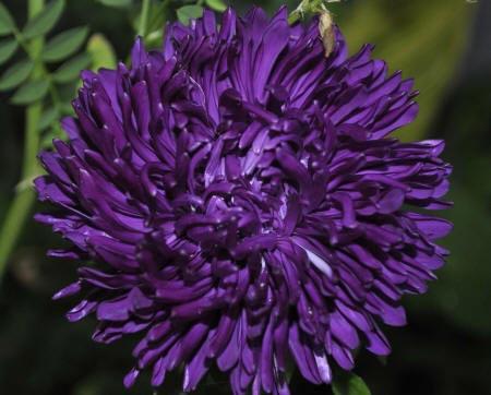 фіолетова астра