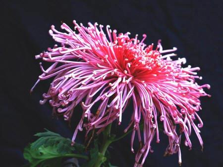 фотографія хризантеми