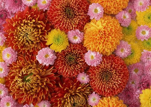 обои для рабочего стола осенние цветы хризантемы № 1155219  скачать
