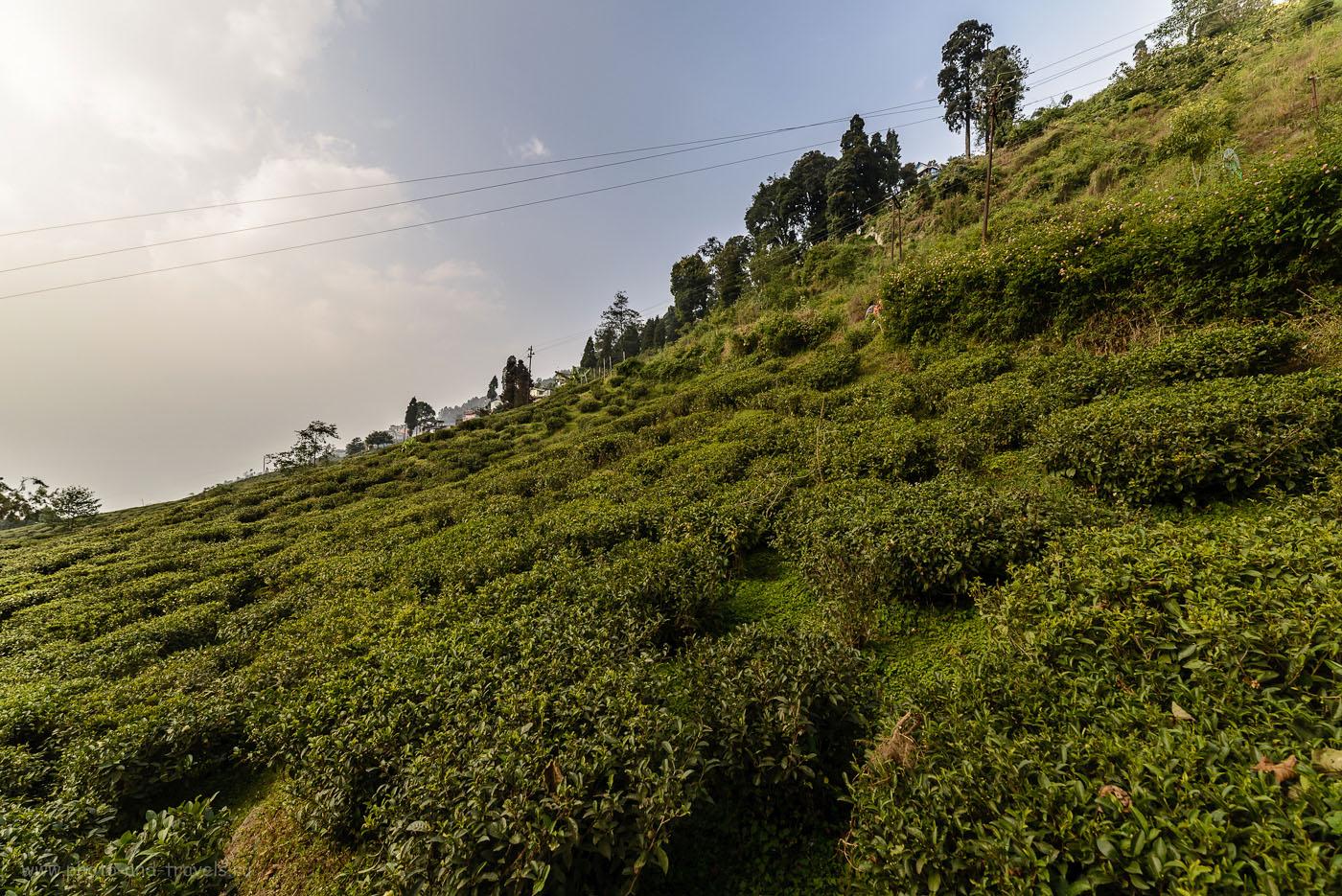 Фотография 2. Чайные плантации в Дарджилинге рядом с фабрикой Happy Valley Tea Estate. Интересные экскурсии в Индии. 1/125, -2EV, 8.0, 100, 14.