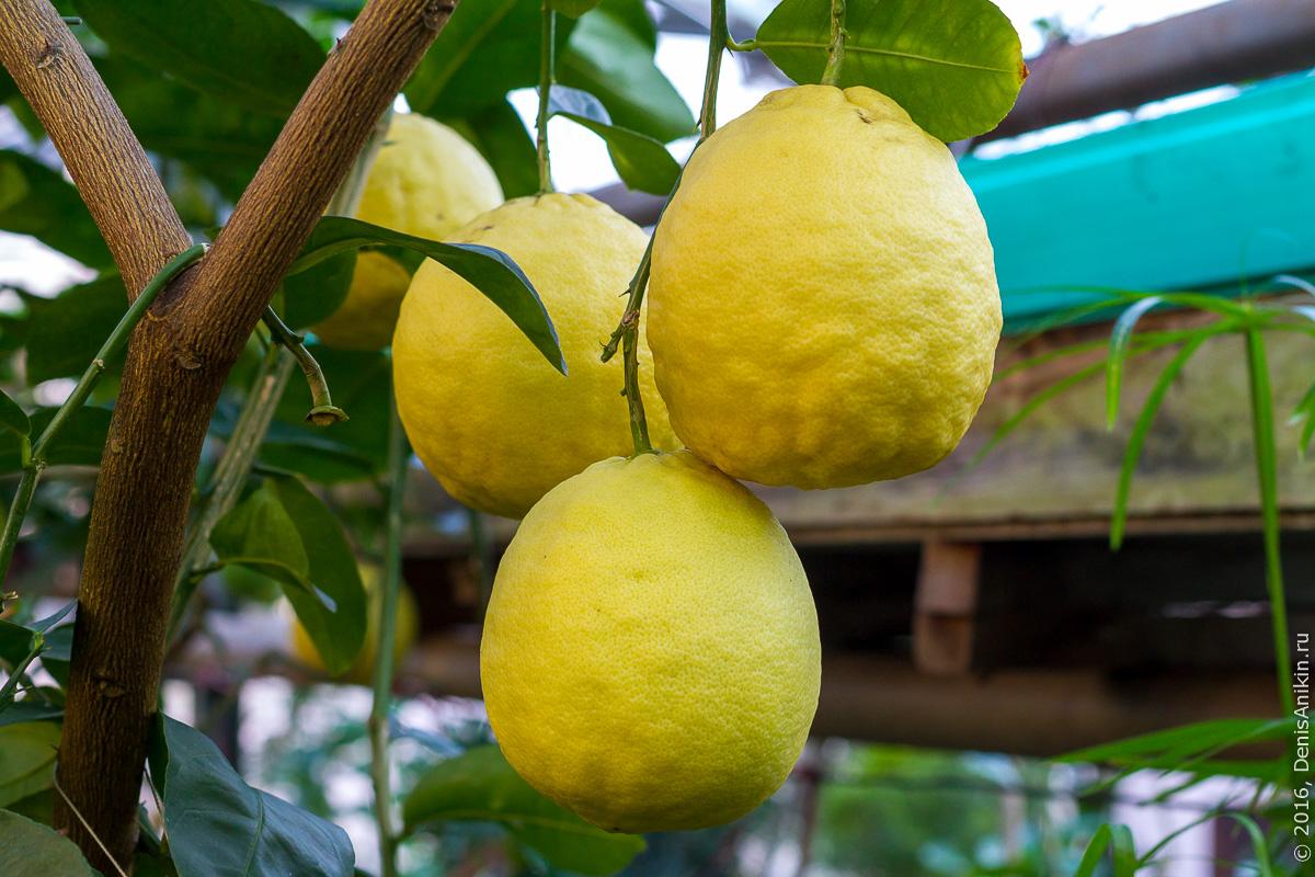 Саратовский лимонарий 22