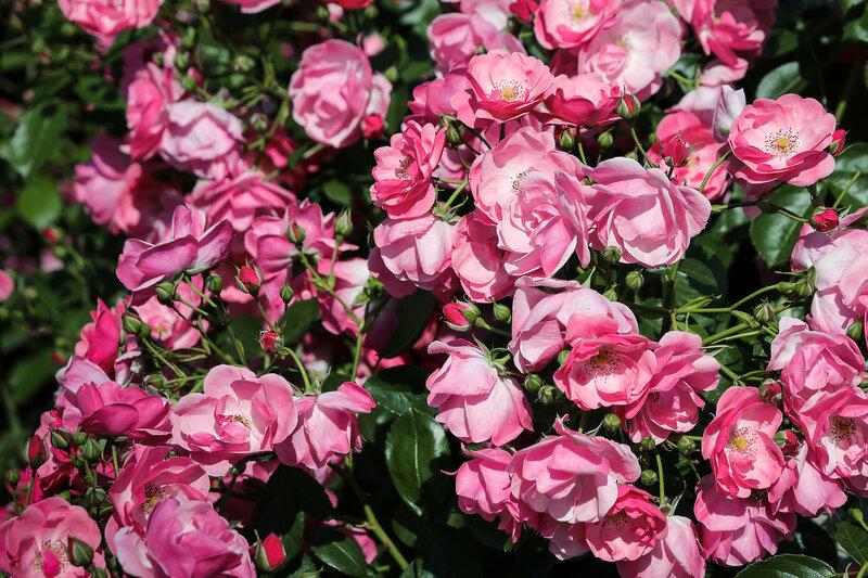 Розы Крыма