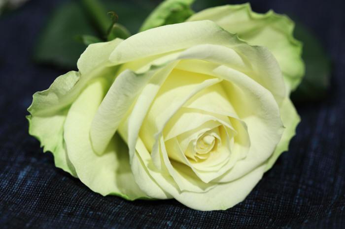 лежить троянда