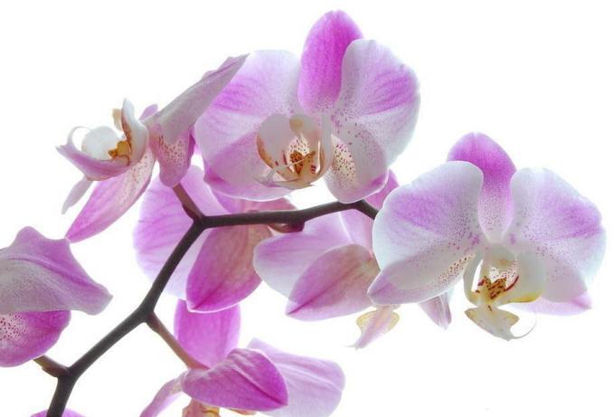 рожеві орхідеї фаленопсис