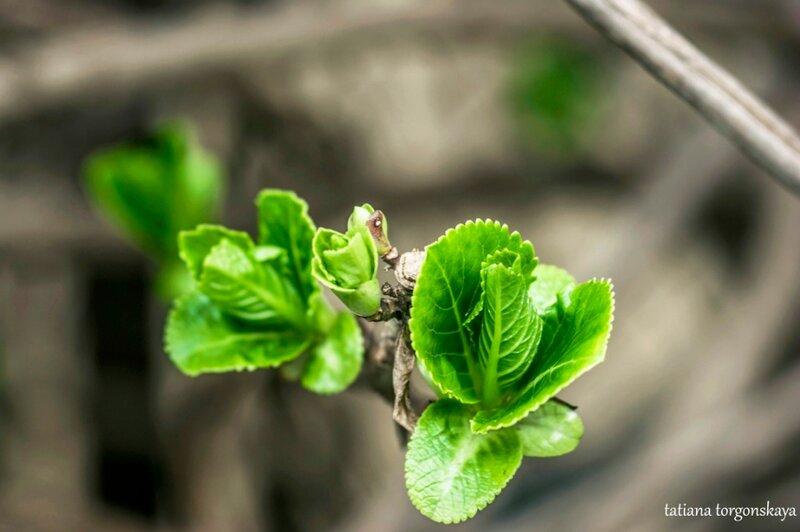 Первые листья гортензии
