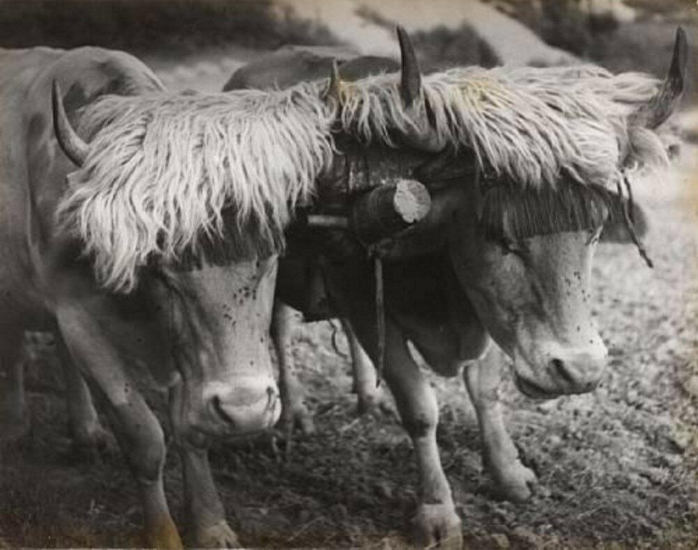 1930. Два запряженных быка. Эноа, Пиренеи