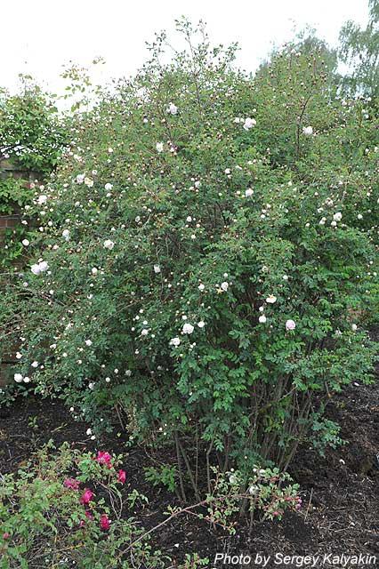 Rosa spinosissima Falkland (3).JPG
