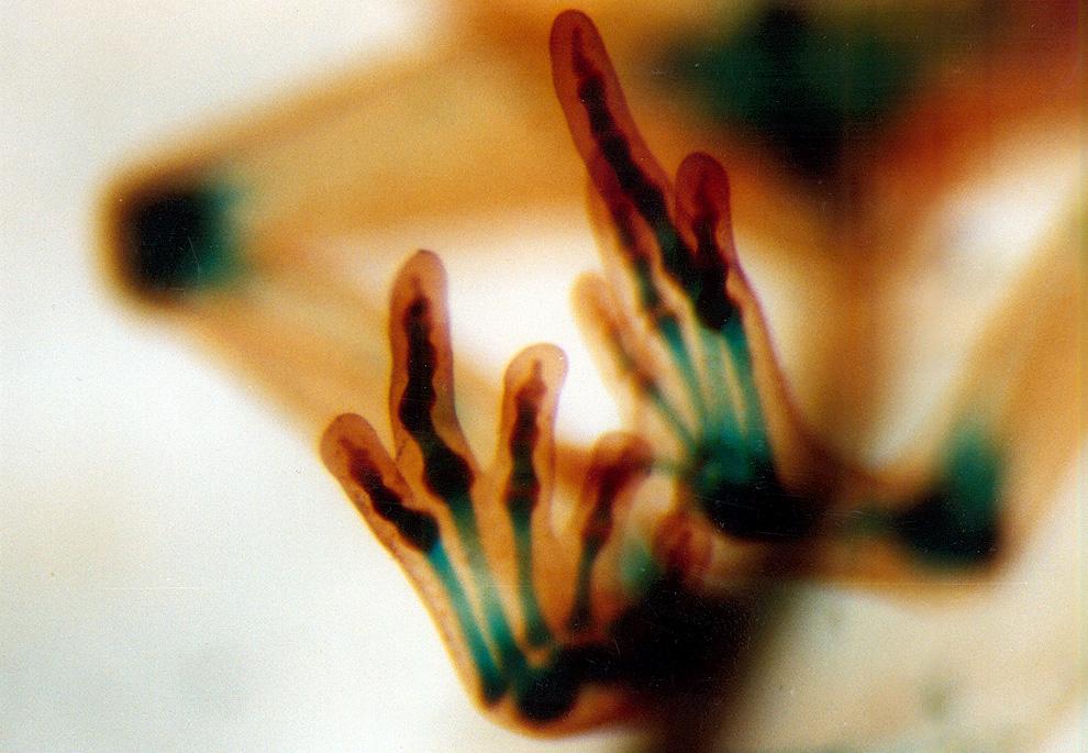 5. Крошечные кости в конечностях развивающейся лягушки. Изображение увеличено в 20 раз. Автор – докт